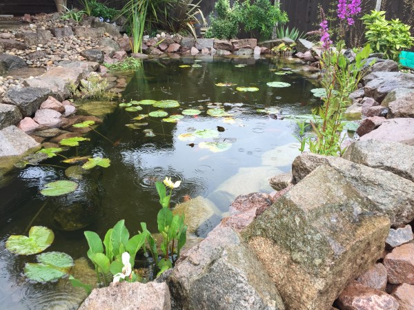 Beautiful Pond With Lilies